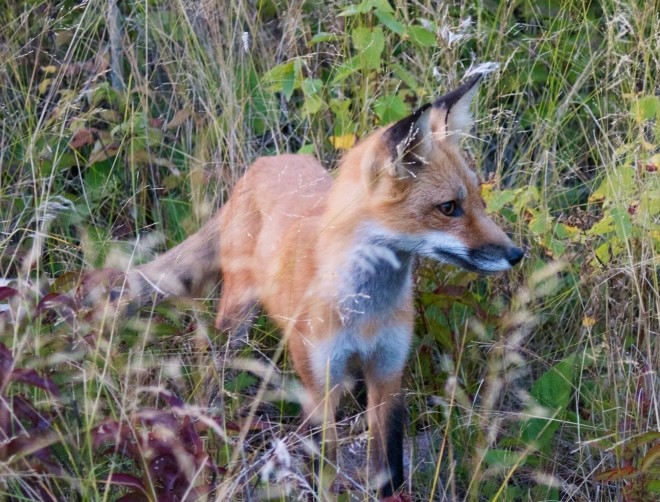 The-Lone-Fox